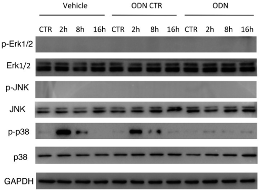 Intra-peritoneal administration of mtDNA leads to p38 MAPK activation via TLR9. WT mice were randomly assigned a group pretreated with TLR9 specific inhibitor ODN2088 or a control group. Mice in the ODN2088 group were pretreated 1h before mtDNA administration (n = 8/group). Total and phosphorylation levels of ERK1/2, JNK, and p38 expression in lung tissue were measured by Western blot. Three separate independent experiments got the similar results.