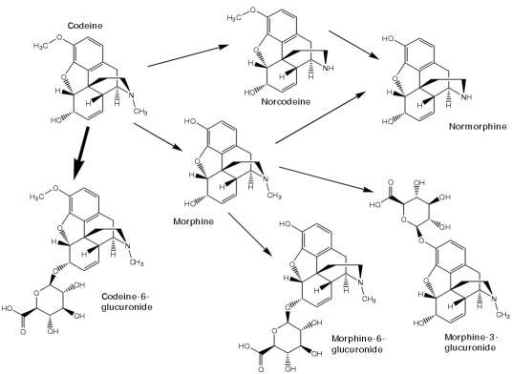 The chemical structures of codeine and its major metabolites in humans.