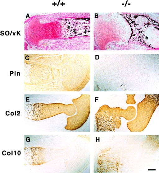 ECM expression in long bones. (A and B) Safranin orange (SO) and van Kossa (vK) double staining show reduced proteoglycan content in mutant (B) as compared with wild-type (A) cartilage and the absence of mineralization of longitudinal septa in the lower hypertrophic zone (1 h) of the mutant growth plate (A and B). Also, note the transversally oriented trabecular bones in the mutant (arrows). (C–H) Immunostaining of perlecan and collagen types II (Col2) and X (Col10) on consecutive sections of elbows from normal and perlecan- E15.5 embryos. Perlecan is present in normal cartilage, in the periosteum/perichondrium, and in the surrounding connective tissues (C). In mutant embryos, perlecan staining is absent (D). The distribution of collagen types II (E and F) and X (G and H) is similar in normal (E and G) and perlecan- (F and H) cartilage. Bar: (A–D and G and H) 100 μm; 50 μm in E and F.