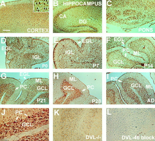 DVL-1 expression in postnatal mouse brain. Brain sections were immunostained for DVL-1 (A–J). The highest level of DVL-1 was detected in neurons of the cerebral cortex, hippocampus, pons, and cerebellum (A–C and I). (A, inset) DVL-1 localization in cell bodies and processes of pyramidal neurons. In P0 cerebellum, DVL-1 is expressed in the EGL and forming IGL (D). At P7, DVL-1 immunoreactivity increases in the EGL (E). At P14, DVL-1 was mainly localized in the granule cell layer (GCL) and in the Purkinje cell (PC) layer (F). This pattern of DVL-1 expression was maintained throughout life (G–I). A low level of DVL-1 expression was detected in the molecular layer (ML) from P21 (G–I). At P21, DVL-1 is mainly localized in granule cells and Purkinje cells cell bodies, as shown at higher magnification (J). No immunoreactivity was detected in the cerebellum of adult Dvl-1  mutant mice (K). Preincubation of the antibody with DVL-46 peptide completely abolished immunostaining in adult cerebellum (L). AD, adult; DG, dentate gyrus. Bar, 100 μM.