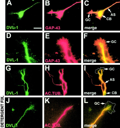 The subcellular distribution of DVL-1 in maturing cerebellar granule cell neurons. Granule cell cultures were grown for 2 d and stained with antibodies to DVL-1 (A, D, G, and J), GAP-43 (B and E), and acetylated tubulin (H and K). DVL-1 has a punctate distribution in the neuronal cell bodies and along the axon shaft (A–C). High levels of DVL-1 were detected in the central domain of the growth cone (D and F). DVL-1 immunostaining colocalizes with acetylated tubulin along the axon shaft (G–I). In neurons fixed in the presence of detergent, a pool of DVL-1 remains colocalized with acetylated tubulin (J–L). CB, cell body; AS, axon shaft; GC, growth cone. Bar: A–C and G–I, 20 μM; D–F and J–L, 10 μM.