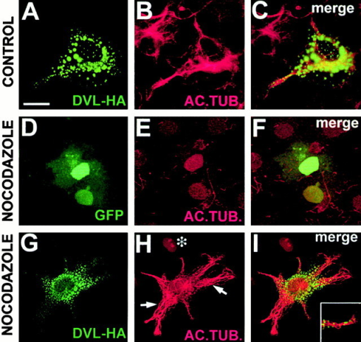 DVL-1 prevents the loss of stable microtubules in nocodazole treated COS-7 cells. COS-7 expressing DVL-HA (A–C and G–I) or GFP (D–F) were examined for the level of MTs (B, E, and H). COS-7 cells expressing DVL-HA (A) have a normal level of acetylated MTs (B and C). COS-7 cells expressing GFP (D–F) or DVL-HA (G–I) were treated with nocodazole to depolymerize MTs. GFP-expressing cells have no acetylated MTs, similar to neighboring untransfected cells (D–F). Expression of DVL-HA prevents MT depolymerization by nocodazole (G–I). Arrows denote MTs resistant to nocodazole in the cell expressing DVL-HA. *Neighboring untransfected cell, which has lost stable MTs. (Inset) Small vesicle-like structures are present on some MTs. Bar, 50 μM.