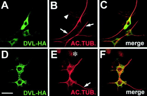 DVL-1 stabilizes axonal microtubules. (A–C) Differentiated NB2a cells expressing DVL-HA have higher levels of acetylated MTs (arrows) than untransfected neighboring cells (arrowhead). (D–F) Neurons expressing DVL-HA have acetylated MTs after nocodazole treatment (arrow), whereas untransfected cells have no acetylated MTs (asterisk). Bar, 25 μM.