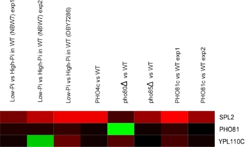 Comparison between the expression profiles of PHO81 and its two homologs SPL2 and YPL110C in the eight TFPE experiments of Pho4p.Red and green colors represent up- and down-regulation, respectively. The brightness of the color is proportional to the absolute expression ratio.