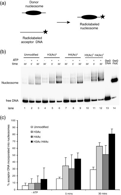 H4 tetra-acetylation increases octamer transfer by RSC. (a) Octamer transfer assay: RSC is able to disrupt nucleosomes and transfer the histone octamer from unlabelled donor nucleosomes onto a separate DNA molecule, in this case a radiolabelled 147 bp 0W0 fragment derived from the 601 positioning sequence. This is measured by the shift in mobility of a radiolabelled DNA fragment to that of a nucleosome. (b) Efficiency of octamer transfer from different donor nucleosomes. H3 tetra-acetylated nucleosomes are transferred faster than unmodified nucleosomes consisting of wild-type H3 and H4: compare lanes 4–6 with lanes 1–3. Surprisingly, H4 tetra-acetylated nucleosomes are also transferred faster than control: compare lanes 7–9 with lanes 1–3. When both H3 and H4 are acetylated the effect is additive (compare lanes 10–12 with 1–3). Lane 13 shows an equivalent amount of free DNA in the absence of RSC or nucleosomes and lane 14 is a nucleosome reconstituted separately on the same DNA fragment as a mobility reference. (c) Table plotting the amount of octamer transfer from different donor nucleosomes as the average of three independent repeats. Error bars represent the standard deviation. Although histones of wild-type sequence are used as a control in the data shown, octamers bearing cysteine mutations behaved similarly.