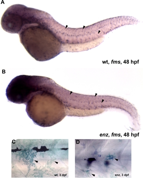 Xanthophores are qualitatively reduced in number and size in enz mutants.(A, B) fms expression in 48 hpf wild-type (A) and enz mutant (B) embryos. Qualitatively reduced fms expression suggests that fewer xanthophores are present in enz mutants than in wild-type siblings at this stage (arrowheads in A and B). (C, D) Methylene blue-stained xanthophores appear much larger in wild-type (C) embryos than in enz mutants (D) at 3 dpf.