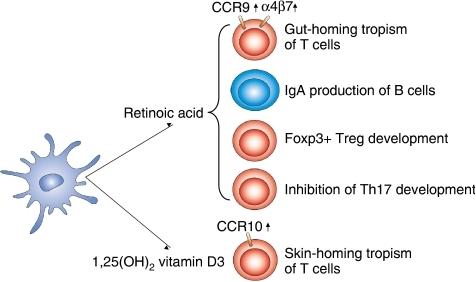 DC-produced nuclear receptor ligands modulate T-cell de | Open-i