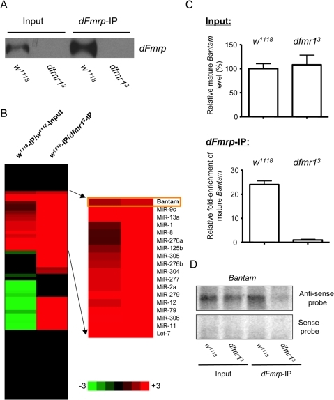 Specific miRNAs associated with dFmr1 protein in Drosophila ovary.(A) Western blot shows that dFmr1 protein (dFmrp) was immunoprecipitated from wild-type Drosophila ovary. A dFmr1  mutant (dfmr13) was used as a negative control. (B) miRNA TaqMan assays of 72 known Drosophila miRNAs were performed in triplicate using both input and IP RNAs from both wild-type and dfmr13 mutants. The miRNAs that were enriched are shown in progressively brighter shades of red, and the miRNAs that were reduced in IP are shown in progressively brighter shades of green. The miRNAs shown in black were not changed. The fold of the change is indicated on both sides of the scale bar. The miRNAs that are specifically enriched in IP from wild-type ovary are shown. The data represent the average of two biological replicates (two independent immunoprecipitation experiments). (C) TaqMan assays of the bantam miRNA were performed in triplicate, and the enrichment of the bantam miRNA in dFmrp-IP (independent IP experiments from those presented in panel B) from wild-type ovary is shown. (D) Northern blot shows that the bantam miRNA is associated with dFmrp. Northern blots detecting the sense and anti-sense strands of the bantam miRNA in both input and IP RNAs from WT and dfmr13 mutants are shown.