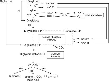 xylulose kinase - 460×342