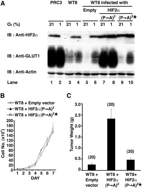 HIF2α Overrides Tumor Suppression by pVHL(A) 786-O subclones that were transfected to produce wild-type pVHL (WT8) or with an empty plasmid (PRC3) cells, as well as WT8 cells infected with an empty retrovirus (Empty) or retroviruses encoding the indicated HIF2α variants [ (P→A)2 = P405A;P531A and * = bHLH mutation] were grown in the presence of 21% or 1% oxygen and immunoblotted (IB) with the indicated antibodies.(B) In vitro proliferation of WT8 cells infected with the indicated retroviruses.(C) Tumor weights approximately 9 wk after subcutaneous implantation of WT8 cells infected with the indicated retroviruses in nude mice. Number of tumors analyzed is shown in parentheses. Error bars = one standard error.
