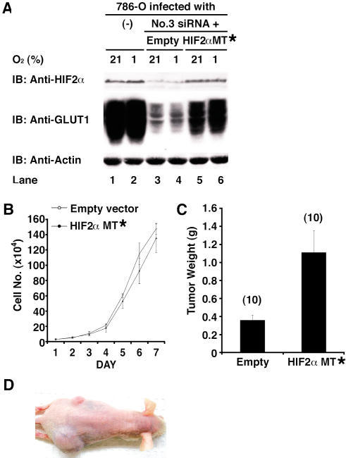 Effect of HIF2α shRNA Is Specifically Due to Downregulation of HIF2α(A) Parental 786-O cells (VHL[−/−]) and 786-O cells stably producing HIF2α shRNA #3 that were coinfected with an empty retrovirus (Empty) or a retrovirus encoding a HIF2α mRNA with three silent mutations in the #3 recognition site (MT*) were grown in the presence of 21% or 1% oxygen and immunoblotted (IB) with the indicated antibodies.(B) In vitro proliferation of 786-O HIF2α shRNA #3 cells infected with the indicated retroviruses.(C) Tumor weights approximately 9 wk after subcutaneous implantation of 786-O HIF2α shRNA cells infected with the indicated retroviruses in nude mice. Number of tumors analyzed is shown in parentheses. Error bars = one standard error.(D) Representative photograph of nude mouse 9 wk after subcutaneous injection of 786-O HIF2α shRNA #3 cells in left (upper) flank and 786-O HIF2α shRNA #3 cells infected with retrovirus encoding HIF2α MT* mRNA on right (lower) flank.