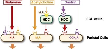 Roles of histamine in gastric acid secretion. Histamine, acetylcholine (muscarinic), and gastrin are major secretagogues in gastric acid secretion. Accumulating evidence suggests that acetylcholine and gastrin stimulate histamine release from ECL cells, which synergistically enhance the acid secretion through direct stimulation of parietal cells by these secretagogues. Massive and prolonged acid secretion by gastrin was found to require transcriptional activation of the HDC gene. Investigation using the HDC−/− mice revealed that histamine plays a critical role in gastrin-mediated acid secretion but not in muscarinic acid secretion.