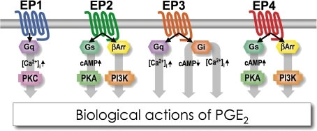 Signal transduction pathways of the four PGE receptor subtypes. EP1 is coupled to Gq/11 (Gq) and intracellular Ca2+ mobilization. EP2 and EP4 are coupled to the Gs/adenylyl cyclase/cAMP/protein kinase A (PKA) pathway. Recently, it was shown that the two receptors are also coupled to the β-arrestin (βArr)/Phosphoinositide 3-kinase (PI3-K) pathway. The EP3 receptor is mainly coupled to Gi, but in particular cell types, EP3 augments EP2/EP4-induced cAMP formation via the Gq/phospholipase C/Ca2+ pathway.
