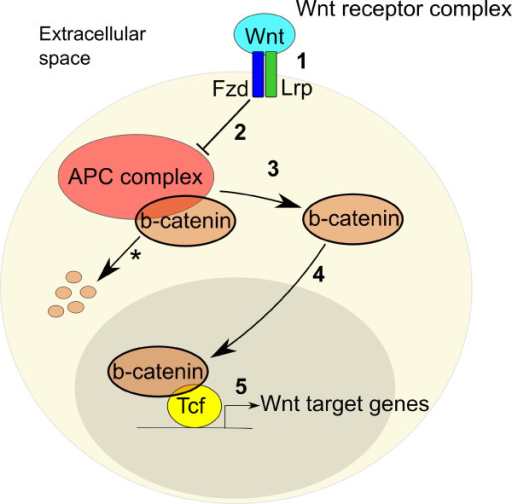 Canonical Wnt signaling mechanism. (1) Wnts bind to Frizzled (Fz) transmembrane receptors and low-density lipoprotein receptor-related protein (Lrp) co-receptors (2) triggering the dissolution of the 'β-catenin destruction complex', resulting in (3) β-catenin not being marked for degradation (asterisk) thereby accumulating in the cytoplasm and (4) translocating to the nucleus. (5) Once in the nucleus, β-catenin binds to the T cell factor/lymphoid enhancer factor (Tcf/Lef) family of DNA-binding factors to form a transcriptional complex that binds target promoter sequences via a specific DNA-binding domain in TCFs, mediating Wnt target gene expression. APC, adenomatous polyposis coli.