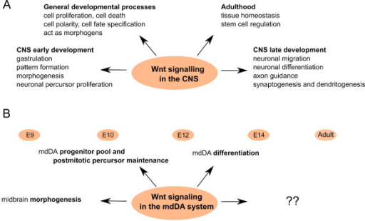 Wnt signaling during the central nervous system and mesodiencephalic dopaminergic neuron development. (A) Wnt signaling is critical in embryonic development, controlling diverse processes, such as cell proliferation and cell polarity. It is involved during early central nervous system (CNS) development in gastrulation, early pattern formation, morphogenesis and precursor proliferation, in late CNS development in processes such as neuronal differentiation and migration, and in adult organisms, where it plays a central role in the maintenance of tissue homeostasis and stem cell regulation. Wnt signaling controls diverse processes, such as cell proliferation, cell polarity, cell death and cell fate specification Wnts can also function as morphogens in both short- and long-range signaling, modulating target cells in a dose- and distance-dependent manner. (B) Wnt signaling is involved in mesodiencephalic dopaminergic (mdDA) neuron development from early on, where it is involved in morphogenesis, and later on as well in mdDA differentiation.
