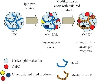 Difference between OxLDL and MM-LDL. LDL is thought to be modified in a stepwise manner during the generation of OxLDL. In the initial phase of modification, the lipid components (sky blue circle) react with oxidation reagents, resulting in radical chain reactions that produce many types of lipid oxidation products (red, brown, yellow, or dark blue circle). Then, the lipid oxidation products react with the apoB protein (blue line) to generate adducts and cross-links. Radicals can attack the apoB protein directly, resulting in oxidative changes of amino acid side chains and the cleavage of peptide bonds (orange-grey line). MM-LDL may contain lipid oxidation products without extensive protein modification, because it binds to LDL receptor rather than scavenger receptors. As modification on the apoB protein proceeds, its mobility in the agarose gel electrophoresis changes greatly, and it loses the affinity to LDL receptor, and, in turn, it becomes a ligand of scavenger receptors.