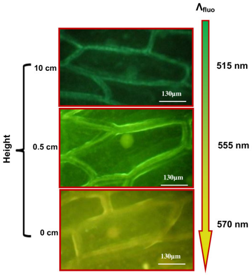 Variation of fluorescence color of the onion cells labeled by the NPs via vapor phase. Fluorescence images of the onion cells situated at different vertical distances from the colloidal suspension of NPs.