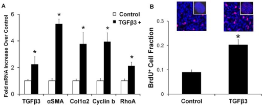 Remodeling behavior of TGFβ3 treated cushions is a balance of contractile differentiation, proliferation, and matrix synthesis.A) 24 hour TGFβ3 treated cushions upregulate contractile (αSMA, RhoA), proliferation (cyclin b), and extracellular matrix protein (col1α2) encoding genes. TGFβ3 administration also significantly stimulated its own production. mean ± SEM, n = 3–4 pooled samples of 8–10 cushions, *p<0.05, t-test. B) BrdU incorporation data (red) of TGFβ3 treated cushions normalized to DRAQ5 cell nuclei counter stain (blue). BrdU was administered 6 hours prior to completion of 24 hour treatment. Representative confocal images are shown above each bar, with a global view of cushion contained in the inset. mean ± SEM, n = 12, *p<0.0001, t-test.