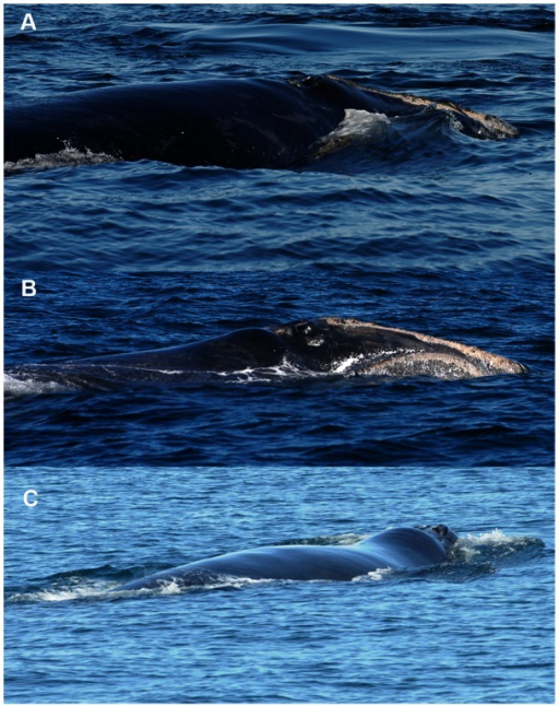 Body condition photos.Plate showing examples of the different classes of body condition judged by the evaluation of the dorsal back profile in the post-blowhole region: a) good, b) fair, and c) poor. Note the contrast between the level to convex nuchal area in a) and the concavity where the back drops off behind a pronounced hump in c). Photographs were taken under permits from the National Marine Fisheries Service (#15415) and the Department of Fisheries and Oceans, Canada. Photo credit: New England Aquarium.