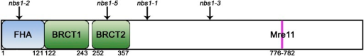 The template-based homology modeling program PHYRE was used to predict the location of functional domains within C. cinereus Nbs1. Numbers represent the amino acid boundaries of the functional domains. Locations of the predicted protein changes caused by nbs1 mutations are represented by ↓. The nbs1-2 mutation leads to an amino acid substitution, and nbs1-1, nbs1-3, and nbs1-5 cause truncations. For nbs1-1, only the truncation at amino acid 406 is shown.