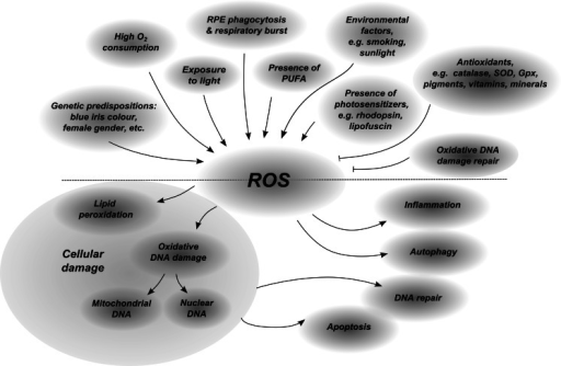 Schematic presentation of ROS involvement in AMD pathology