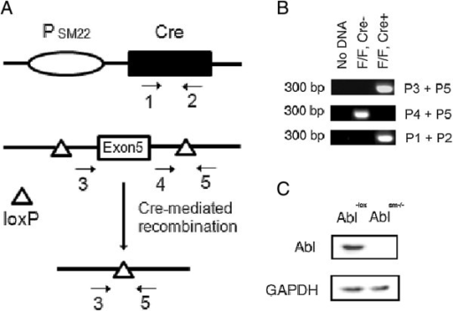 Targeting of the abl gene in smooth muscle cells. (A) SM22-Cre construct possesses a SM22 promoter (PSM22) and a Cre coding region. The abl locus containing a floxed version of the Exon5 of abl and the predicted product of Cre-mediated recombination are also shown. Numbered arrows represent PCR primers. (B) Ethidium bromide-stained agarose gel of PCR products amplified from mouse tails of indicated mouse strains. PCR with primers 3 and 5 demonstrate selective deletion of DNA between loxP sites in the presence of Cre recombinase in vivo. Each lane represents tail DNA samples isolated from an individual mouse of the indicated genotype. (C) Extracts of airway smooth muscle cells from Abl-lox and Ablsm−/− mice were analyzed by immunoblotting. Knockout of the Abl protein is verified in airway smooth muscle. Representative blots from three separate experiments are shown.