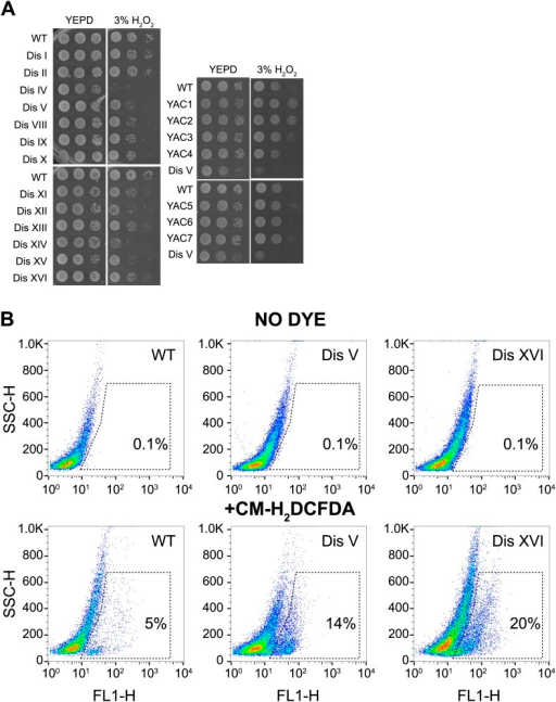 Proliferation capabilities of aneuploid cells in the presence of 3% H2O2.(A) Proliferation capabilities of WT, disomes and cells harboring YACs on YEPD medium alone or in the presence of 3% H2O2. (B) FACS analysis of cells grown in YEPD medium stained CM-H2DCFDA.DOI:http://dx.doi.org/10.7554/eLife.03023.028
