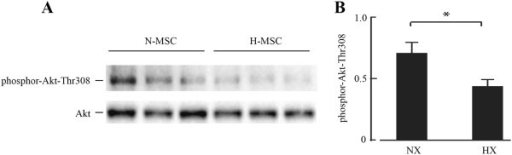 Western blot and quantification of phosphor-Akt expression in normoxic (N-MSC) and hypoxic (H-MSC) human MSCs (A and B). Western blot procedures are described in Methods. Akt-P-Thr308 quantification was by NIH image using total Akt as loading control; *p < 0.05, n = 3.