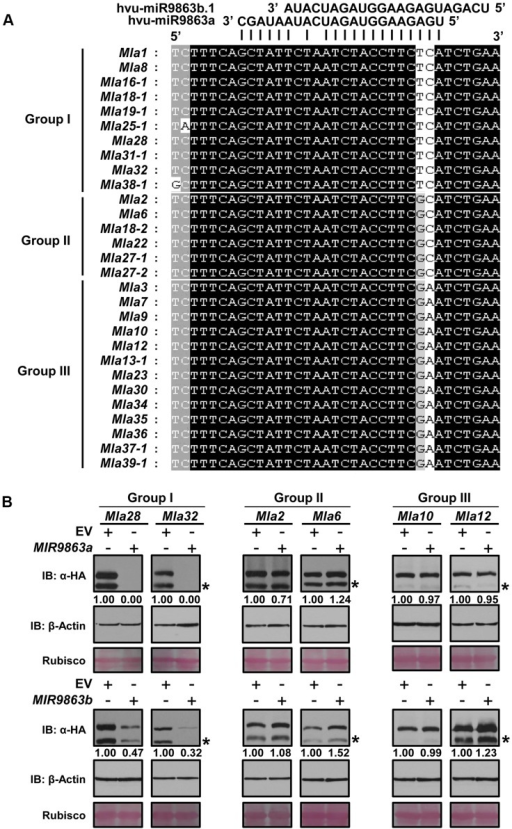 miR9863a and miR9863b.1/b.2 specifically regulate group I Mla alleles.(A) Mla alleles are classified into three groups according to the SNP haplotype in the miR9863 binding site. The two SNPs differ among Mla groups are highlighted. (B) Mla alleles of group I, but not group II and III, are regulated by miR9863a and miR9863b.1/b.2. Mla genes of group I (Mla28, Mla32), group II (Mla2, Mla6) and group III (Mla10, Mla12) were respectively co-expressed with either MIR9863a (upper panels) or MIR9863b (lower panels) in N. benthamiana as described in Fig. 2. Protein levels of MLA or actin were determined by immunoblotting with an anti-HA or anti-actin antibody; Rubisco was included as a loading control. The asterisks indicate non-specific signals.