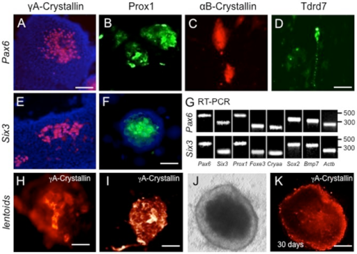 Pax6 or Six3 expression in G4 mESC cells induces lens marker expression.(A–F) G4 mES cells transfected with either (A–D) Pax6 or (E,F) Six3 expression plasmids exhibit γA-crystallin (A,E) and Prox1 (B,F) expression at day 7. Pax6-transfection also results in expression of (C) αB-crystallin, and (D) Tdrd7. (G) Expression of lens markers in Pax6- and Six3-transfected G4 mESC colonies confirmed by RT-PCR. (H–K) In some cases, γA-crystallin positive mES cells accumulate in aggregates at days 7–14, with further expansion into lentoid bodies at 30 days (J, phase; K, γA-crystallin immunofluorscence). Scale bars: A 75 µm; B–F 50 µm; H–I 25 µm; J–K 50 µm.