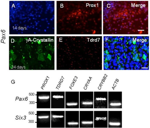 Pax6 or Six3 expression in H1 hES cells induces lens marker expression.(A–F) H1 hES cells transduced by Pax6 lentiviral vector express (A–C) Prox1 in partly overlapping fashion (C) by 14 days post transduction. (D–F) By 24 days post-transduction, (D) γA-crystallin and (E) Tdrd7 are expressed, the latter as cytoplasmic granules. Similar results were obtained following Six3 transduction (not shown). (G) RT-PCR confirms induction of lens marker gene expression in Pax6- or Six3-transduced H1 hES cells. Scale bars: A–C 150 µm; D–F 50 µm.