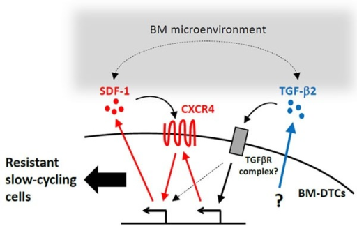 A proposed mechanism of drug resistance and the slow-cycling state in BM-DTCsThis scheme summarizes data from this and other studies and presents a model illustrating how cell-autonomous and BM microenvironment-mediated mechanisms may synergistically contribute to drug resistance and a slow-cycling state in DTCs. As demonstrated in our study, BM-DTCs overexpress TGF-β2 through a yet unknown mechanism. This cytokine maintains expression of CXCR4 and SDF-1, which results in drug resistance and a slow-cycling state in a cell-autonomous fashion. SDF-1 and TGF-β2 in the BM microenvironment may facilitate these signaling pathways, which may contribute to creating conditions that would allow DTCs to persist as dormant residual disease.