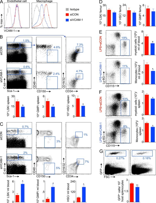 Macrophages retain splenic HSCs via VCAM-1. (A) Flow cytometric plots showing VCAM-1 expression on splenic endothelial cells and macrophages after VCAM-1 knockdown. Flow cytometric plots show percentage of LSKs, HSCs, and GMPs in the spleen (B) and blood (C) of mice treated with siRNA against VCAM-1 (siVCAM-1) or control siRNA (siCON). Levels of LSKs, HSCs, and GMPs in the spleen (B), blood (C), and bone marrow (D; n = 8–10). Myeloid cells and monocytes in the blood (E) and spleen (F) after siVCAM-1 treatment in LPS-challenged mice (n = 4). (G) Reduced HSPC retention in the spleen after VLA-4 neutralization (n = 4–5). Two independent experiments were performed. Data are mean ± SEM. Significance was determined by Mann-Whitney test. *, P < 0.05; **, P < 0.01.
