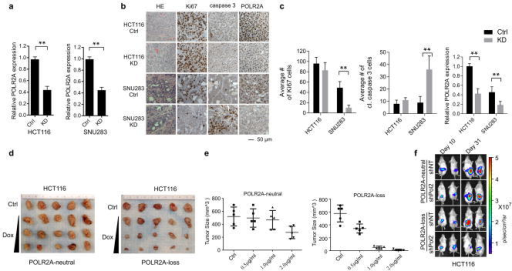 Dose-dependent suppression of POLR2A inhibits tumorigenesis in POLR2Aloss, but not POLR2Aneutral tumoursa, Quantification of POLR2A mRNA expression levels in subcutaneously xenografted HCT116 and SNU283 tumours expressing control or POLR2A shRNA (n = 5 mice per group). ** p < 0.01. Data are mean and s.d. b, Immunohistochemical staining of the aforementioned xenograft tumours. HE: haematoxylin and eosin. c, Cells positive for Ki67 (cell proliferation) or cleaved caspase-3 (apoptosis) per field and POLR2A expression in (b) were quantified. ** p < 0.01. n = 10 fields. Data are mean and s.d. d, Gross tumour images of xenograft tumours derived from subcutaneously implanted POLR2Aneutral and POLR2Aloss HCT116 cells (1 × 106 cells injected). Both cell lines express control or Dox-inducible POLR2A shRNAs. After the initial establishment of tumours (100 mm3), mice were treated with (0.5, 1 and 2 μg ml−1) Dox in drinking water. n = 5 mice per group. e, Quantification of tumour sizes as shown in (d). Data are mean and s.d. f, Representative bioluminescent images of orthotopically implanted HCT116 tumours expressing Dox-inducible control or POLR2A shRNA following Dox treatment.