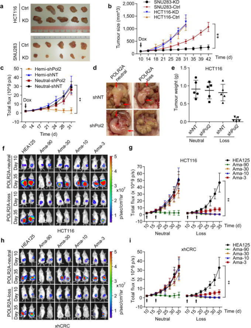 Suppression of POLR2A selectively inhibits the POLR2Aloss tumour growtha, b, Gross tumour images (a) and growth curves (b) of xenograft tumours derived from subcutaneously implanted HCT116 or SNU283 cells expressing control or Dox-inducible POLR2A shRNA. n = 5 mice per group. Error bars, s.e.m. c–e, Tumour growth curves (c, **p < 0.01, error bars, s.e.m.), gross tumour images (d) and weights (e, error bars, s.d.) of xenograft tumours derived from orthotopically implanted POLR2Aneutral and POLR2Aloss HCT116 cells expressing Dox-inducible control or POLR2A shRNA. n = 5 mice per group. f–i, Representative bioluminescent images (f, h)and tumour growth curves (g, i)of orthotopic xenograft tumours derived from POLR2Aneutral and POLR2Aloss HCT116 (f, g) or xhCRC cells (h, i) that received dual intraperitoneal injections of HEA125 antibody or Ama-HEA125 antibody-drug conjugate (3, 10, 30 and 90 μg kg−1). n = 10 mice per group. Error bars, s.e.m.
