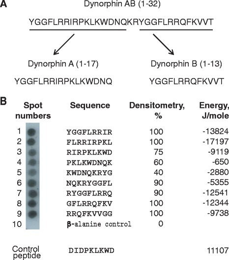 Screening of the peptide library spanning the sequence of dynorphin AB for αMI-domain binding. a, Amino acid sequence of dynorphin AB (residues 1–32). b, Cellulose membrane with the assembled peptide library consisting of 9-mer peptides with three-residue offset was incubated with 125I-labeled αMI-domain and subjected to autoradiography followed by densitometry. The αMI-domain binding was observed as dark spots. Spot #10 contains only the β-Ala spacer. The αMI-domain binding was expressed as a percentage of binding to peptide #1, which was assigned a value 100 % and is shown as the numbers on the right of each sequence. The peptide energies that serve as a measure of probability each peptide can interact with the αMI-domain were calculated as described [17]