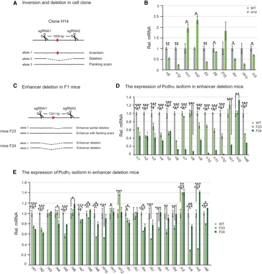 The application of inversion and deletion by CRISPR to an enhancer of the Pcdhα gene cluster reveals a new role in the regulation of the Pcdhγ cluster. (A) Single-cell Hec-1-B clone with enhancer deletion and inversion alleles obtained by CRISPR with a pair of sgRNAs. (B) Significant decreases of the Pcdh α6, α12, β3, β9, γb5, and γc3 gene expression in enhancer-deleted and inverted CRISPR cell line. (C) Enhancer deletion in F1 mice. Expression profiles of Pcdh α (D) and γ (E) clusters were measured by real-time RT–PCR using mouse brain tissues. Statistical analysis was performed by Student's t-test from three independent experiments.