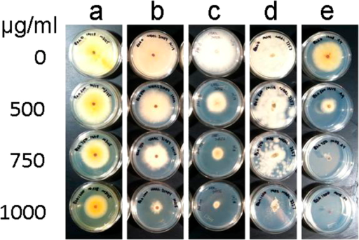 Fungal tolerance of 2-benzoxazolinone.F. verticillioides (G. moniliformis) strain FGSC 7600 (a), F. graminearum (G. zeae) strain PH-1 (b), F. oxysporum f.sp. lycopersici strain FOL 4287 (c),A. flavus strain NRRL 3357 (d) and A. nidulans (E. nidulans) strain FGSC A4 (e) were grown on standard agar medium supplemented with up to 1000 μg/ml of 2-benzoxazolinone. Cultures are shown after 5 days of incubation.
