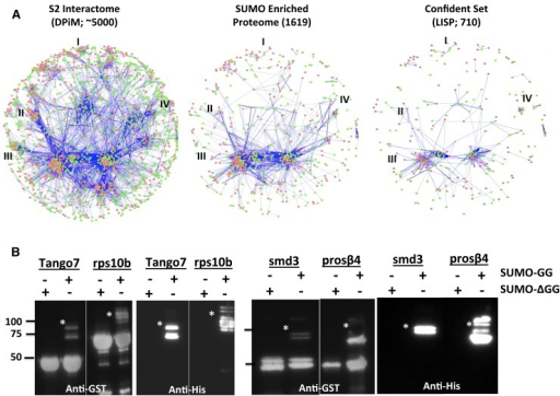 The small ubiquitin-like modifier (SUMO) proteome enriches specific protein complexes. (A) Cytoscape representation of a molecular interaction networks for S2 cells, based on data from Guruharsha et al. (2011). The figure on the left represents an interaction map of 4500 proteins (DPIM), as discovered by a large-scale affinity purification experiment. The figure in the middle represents a combined SUMO-enriched proteome of 1619 proteins we have generated and mapped onto the DPIM map. Many complexes such as the Histone Acetyl Transferase Complex (I), Mediator Complex (II), the SNARE/Syntaxin Cluster (III), and the Arp/Arc complex (IV) are underrepresented in the SUMO-enriched network. The figure on the right is a map of the confident set, with 710 proteins. (B) Validation of a few proteins that are part of large protein complexes identified in S2 cells (Guruharsha et al. 2011) and listed in Table 1. The system used for validation is the in bacto 'Q' system (Nie et al. 2009). Proteins to be validated are coexpressed as GST fusions in bacteria along with 6XHis-SUMO-GG (or 6XHis-SUMO-ΔGG) and E1 and E2 enzymes. In the Western blots shown, SUMOylated proteins (marked with a *) can be identified by the presence of a weak, higher molecular weight band (15 kDa or more) in the anti-GST blots that also cross-reacts with the Anti-His antibody. Proteins shown to be SUMOylated include Tango 7 (part of the eIF3 complex), rps10b (ribosome small subunit), smD3 (spliceosome) and prosß4 (proteasome).