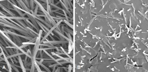 SEM micrographs of cuticle surfaces of flag leaf sheaths.(A) BW and (B) w3 mutant. The scale bars indicated 1 μm.