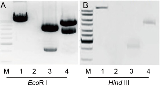 Southern blot analysis of OsARG gene copy number in the genomes of transgenic cotton plants.The probe was labeled with the radioactive isotope [α-32P] dCTP. (A) Two copies of OsARG were integrated into the ARG-26 genome. (B) One copy of OsARG was integrated into the ARG-38 genome. The under labels indicate the following samples: M, marker. 1, positive control. 2, negative control. 3, genomic DNA digested using EcoRI. 4, genomic DNA digested using HindIII.