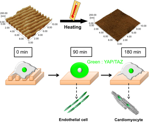 YAP/TAZ nuclear localization is sensitive to dynamic changes in substrate nanopattern in cardiac progenitor cells. PCL-based thermo-responsive substrates having shape-memory effect were produced to display a temporary nanopattern at 32 °C. The surfaces could be induced to a thermal transition after switching the temperature to 37 °C to acquire a permanent flat surface. When shape-memory transition is activated, cells are displaced from the surface and encounter a dramatic but transient switch in YAP/TAZ nuclear expression, which is restored after 180 min.