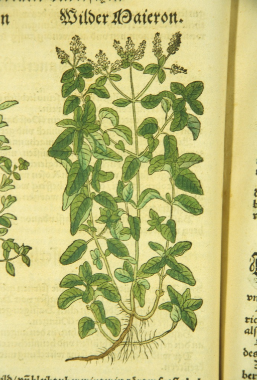 <p>Illustration of flowering marjoram plants.</p>