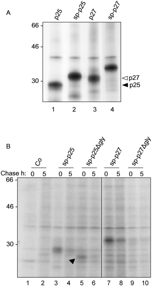 sp-Nef constructs are unstable in tobacco protoplasts. A: Protoplasts transfected with the indicated plasmids were pulse labelled for 2 h. Cell homogenates were subjected to immunoprecipitation with anti-FLAG antiserum, followed by SDS-PAGE and fluorography. Note the size difference between cytosolic p25 and p27 (as indicated by arrowheads) and their signal-peptide fusion counterparts. Numbers at left indicate molecular weight markers in kDa. B: Protoplasts transfected with the indicated plasmids were pulse labelled for 1 h and chased for 5 h. Cell homogenates were subjected to immunoprecipitation with anti-FLAG antiserum, followed by SDS-PAGE and fluorography. Arrowhead: aglycosylated Nef p25 (sp-p25Δg).