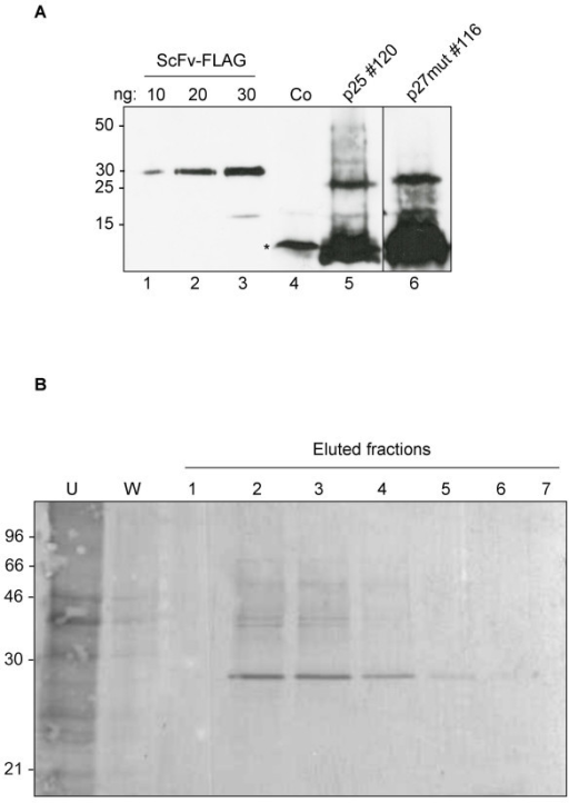 Analysis and affinity purification of plant-produced cytosolic Nef. A: Samples of leaf protein homogenates from a p25 (line 120) and a p27 mut (line 116) transgenic line were resolved by 15% SDS-PAGE and subjected to immunoblot with anti-FLAG polyclonal antiserum. A dilution series of a recombinant, FLAG-tagged ScFv [28] was loaded as a quantitative reference. The asterisk indicates a non-specific, anti FLAG – immunoreactive peptide. Numbers at left indicate molecular weight markers in kDa. Co: control mock-transformed plant. B: Total leaf protein homogenate from transgenic plant line 116 expressing p27 mut was subjected to affinity chromatography with a cobalt resin. His-tagged Nef was eluted with imidazole. U: fraction not bound to the resin; W: wash fraction. Numbers at left indicate molecular weight markers in kDa.