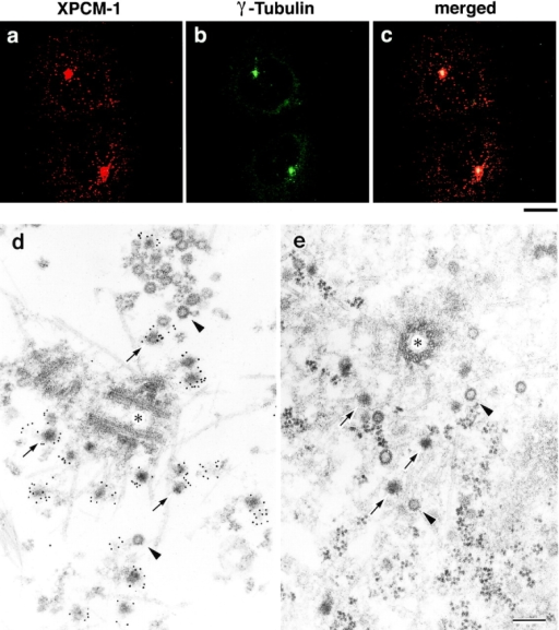 Subcellular localization of XPCM-1 in A6 cells. a–c, Double immunofluorescence staining of A6 cells with anti–XPCM-1 pAb (a) and anti–γ-tubulin mAb (b). The merged image (c) revealed that most of the XPCM-1–positive granular structures were concentrated on and/or around γ-tubulin–positive centrosomes. Small numbers of XPCM-1–positive granular structures were observed scattered in the cytoplasm. Bar, 10 μm. d, Localization of XPCM-1 at centriolar satellites. When A6 cells were treated with Triton X-100 and labeled with anti–XPCM-1 pAb, numerous electron dense granules (arrows) around the centrosome (asterisk) were specifically labeled at the electron microscopic level. Some granules appeared to be associated with MTs. Note that pale granules (arrowheads) with similar diameter were not labeled. e, Ultrastructure of centrosomes of A6 cells in situ. A6 cells were processed for ultrathin EM without Triton X-100 treatment. Note the so-called centriolar satellites (arrows) and pale granules (arrowheads) around the centrosome (asterisk). Bar, 200 nm.
