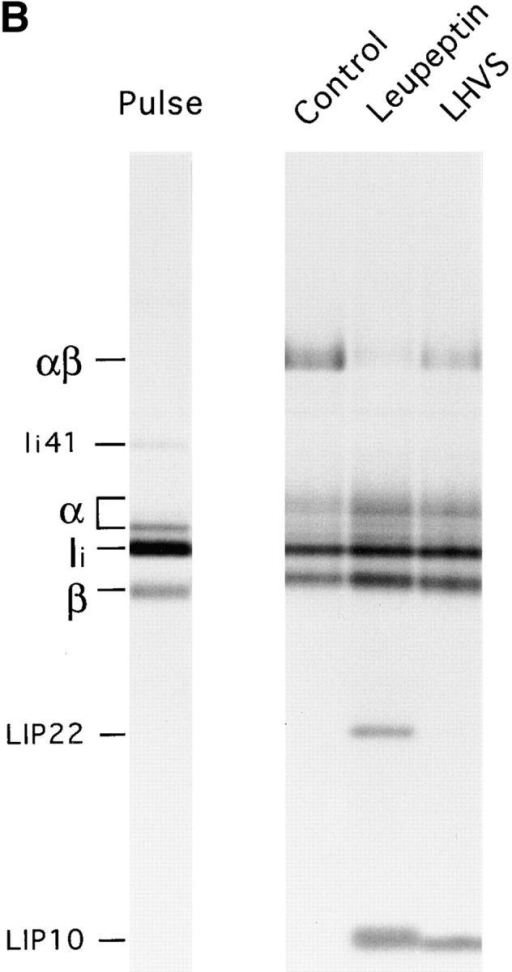 Role of Cat S on degradation  of mouse Ii. (A) LHVS is a specific inhibitor  of Cat S at the 1–10 nM range. Mouse splenocytes were incubated with the indicated  concentrations of LHVS or leupeptin (1 mM)  followed by addition of Cbz–[125I]–Tyr– Ala–CN2. The bands corresponding to Cat  S and to the high and low molecular weight  forms of Cat B are indicated. (B) A cys protease different from Cat S converts LIP22  into LIP10. H-2d splenocytes were pulse labeled for 30 min and chased for 240 min  without (control) or with 1 mM leupeptin or  3 nM LHVS. N22 immunoprecipitates  were loaded without boiling in 12.5% SDS-PAGE. (C) Cat S cleaves Ii NH2 terminally  of CLIP. H-2d splenocytes were pulse  chased in the presence of LHVS and immunoprecipitated with N22. The precipitate  was resuspended in Cat S buffer and incubated with or without Cat S for 1 h at 37°C.  After incubation, samples were boiled in 1%  SDS, 1/5 loaded directly on gel, and the remainder diluted in lysis buffer and reimmunoprecipitated as in Fig. 1 B. The arrow at  the right of the figure indicates the position  of CLIP-containing fragments devoid of the  NH2-terminal region of Ii.