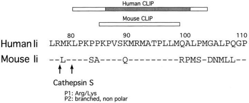 Conservation of potential cleavage sites for Cat S in human  and mouse Ii. Residues 77–111 of human Ii (single-letter code), with the  corresponding mouse sequence. The bars indicate the CLIP regions (15,  78). The shaded bar indicates the residues of human CLIP that interact directly with the peptide-binding cleft of HLA-DR3 (5). The arrows indicate the potential target sites for Cat S as proposed in reference 37.