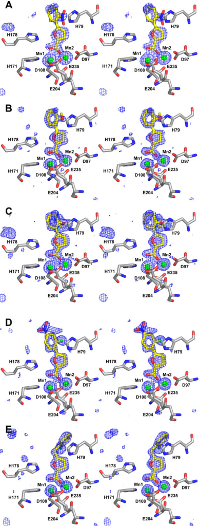 Binding modes of the inhibitors at the active site of E. coli MetAP. In the stereo views, only five conserved residues that coordinate with Mn(II) ions (D97, D108, H171, E204, E235) and two conserved histdines (H79, H178) are shown. The bound inhibitors are 4 (A), 5 (B), 6 (C), 7 (D), and 8 (E), respectively. The colour scheme is as follows: gray, carbon (protein residues); yellow, carbon (inhibitor); blue, nitrogen; red, oxygen; green, chlorine; and cyan, fluorine. Mn(II) ions are shown as green spheres. SigmaA-weighted Fobs-Fcalc standard omit maps (inhibitor and metal ions were not included in the model for the structure-factor calculation) are shown superimposed on the refined structures as blue meshes contoured at 3.5 standard deviations of the resulting electron density map.
