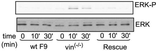 Cells lacking vinculin survive after detachment because they phosphorylate ERK.
